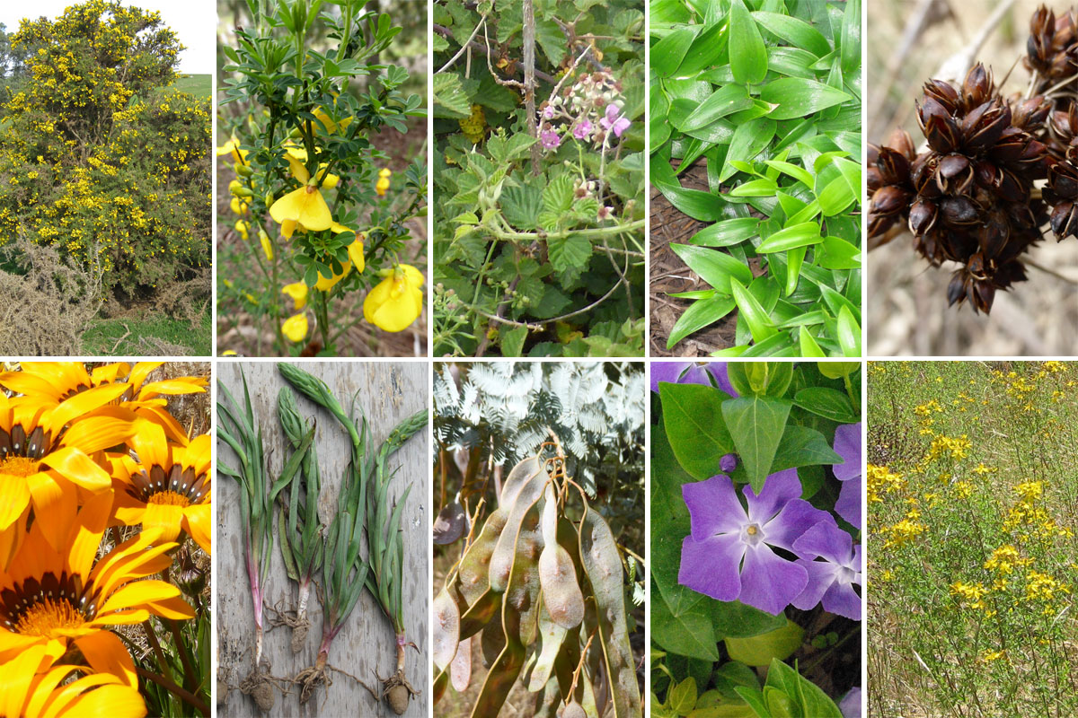 Montage of the top 10 weeds in the Barkers Creek area