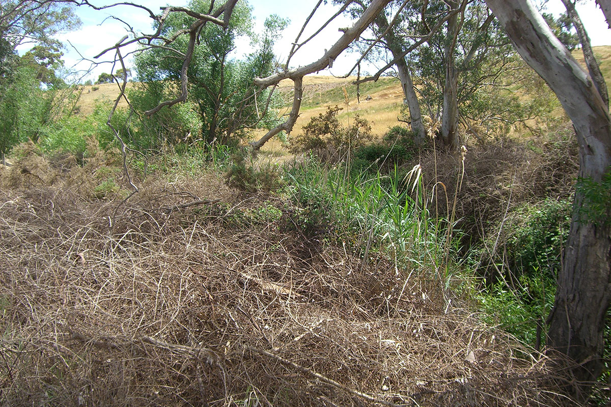 Barkers Creek full of Blackberry, Gorse and Willows
