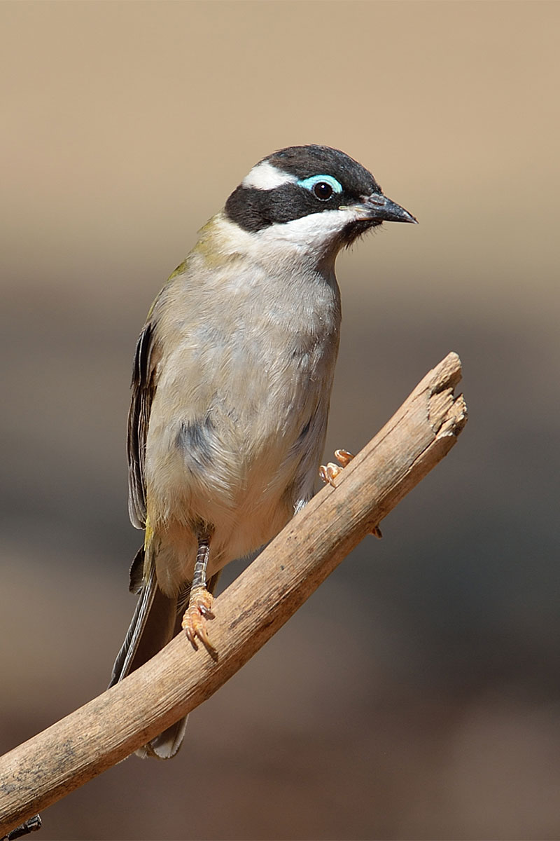 Black Chinned Honeyeater