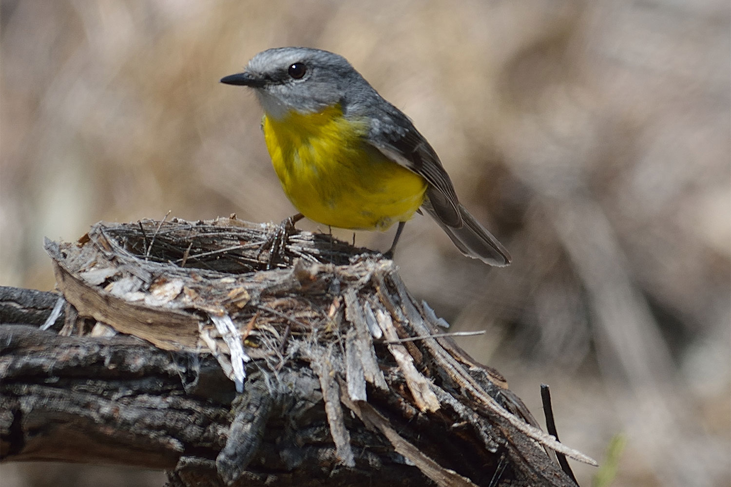 Eastern Yellow Robin standing on a nest