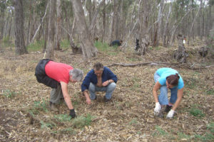 People removing broom at Bushland Reserve