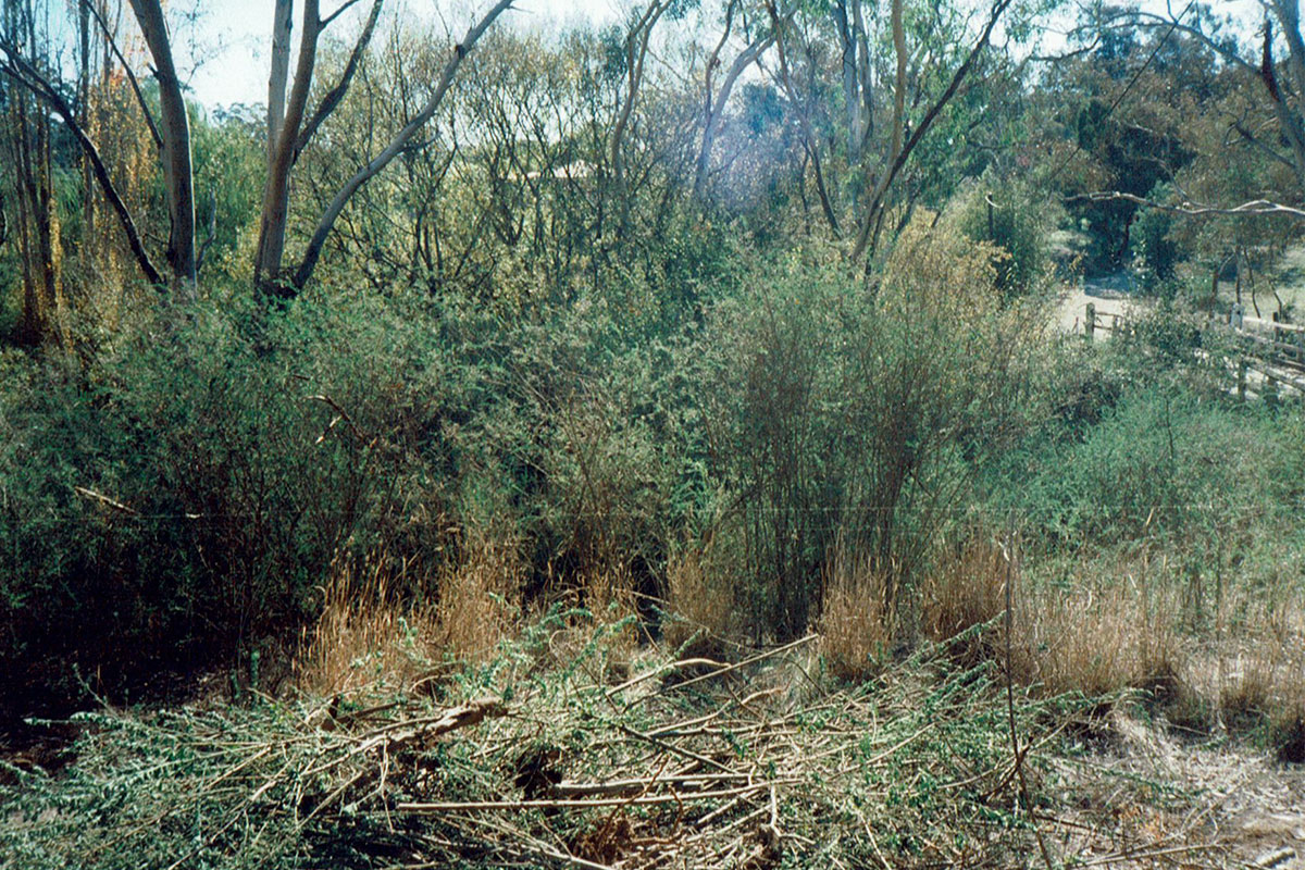 Lots of broom in McManus Road Reserve