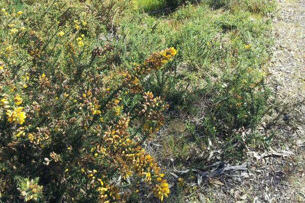Gorse weeds on White Gum Road