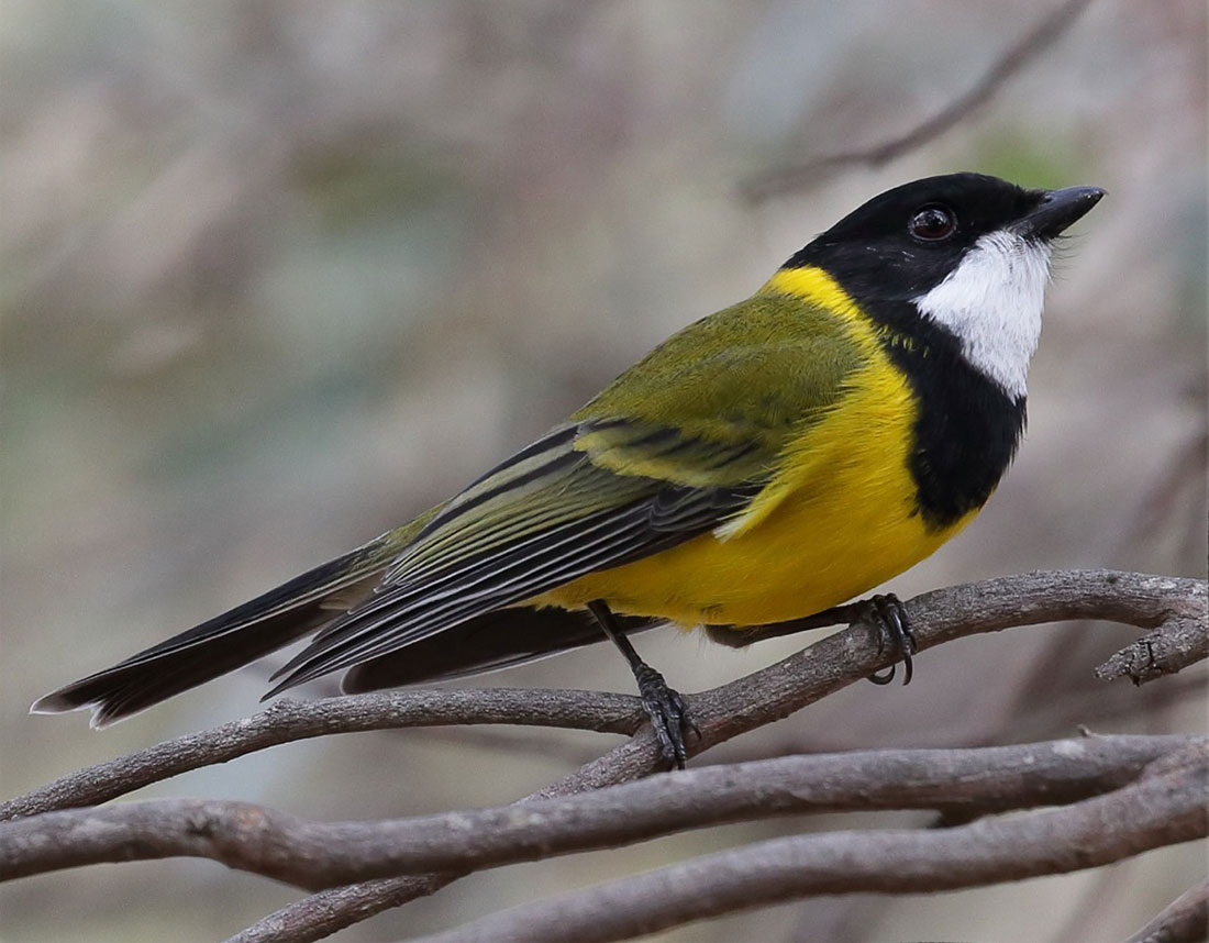 Golden Whistler bird