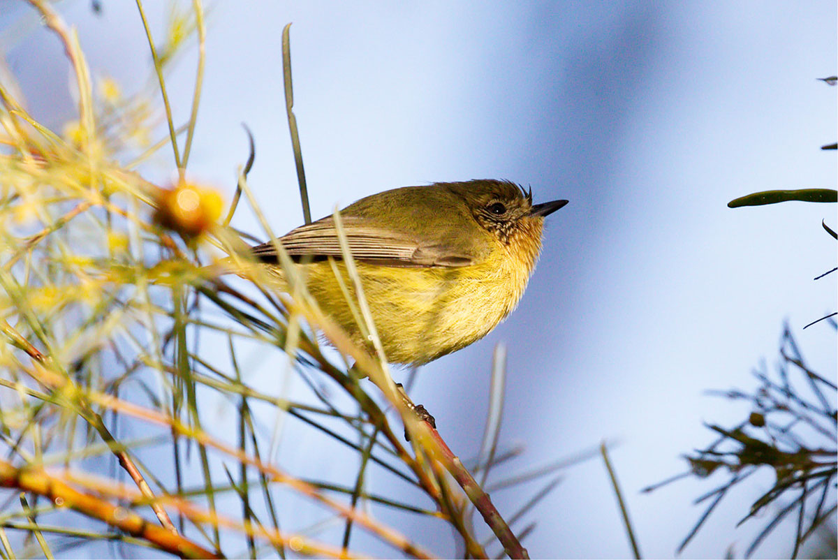 Yellow Thornbill bird